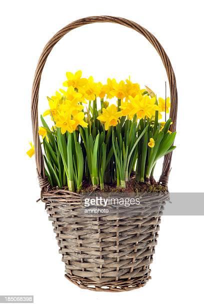 fresh daffs in basket on white