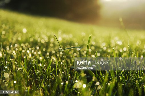 Fresh dew drops on the ends of some green blades of grass