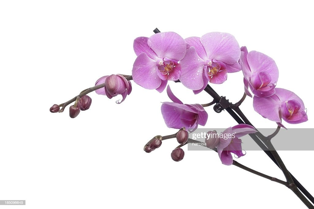 Fresh dew on Pink phalaenopsis orchid