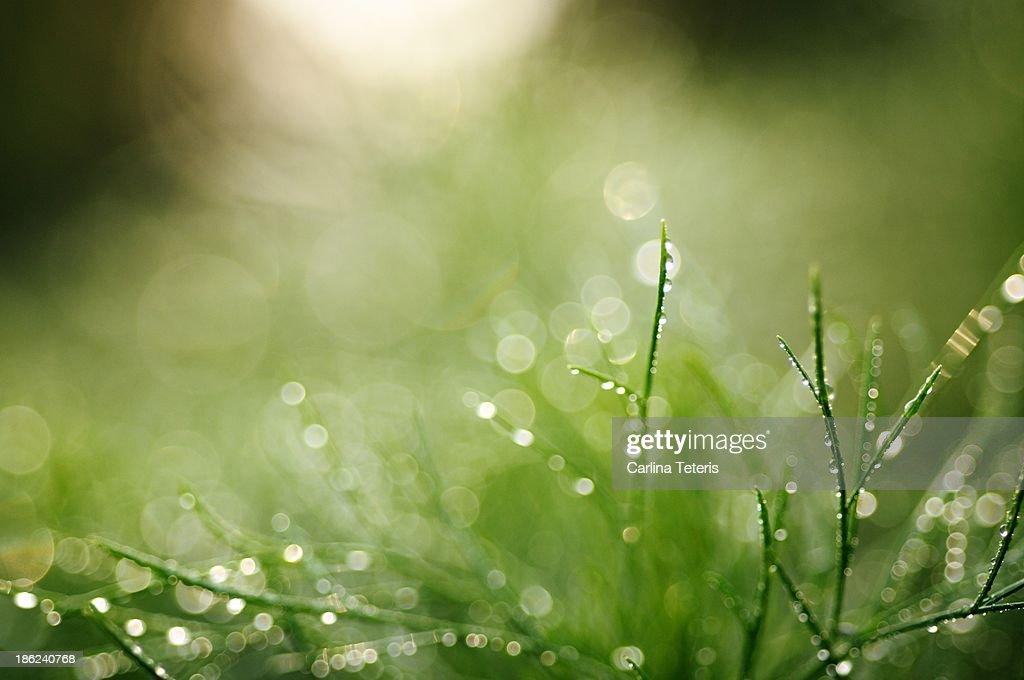Fresh dewy grass