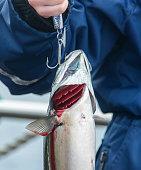 fresh fish on fishing hook visible gills