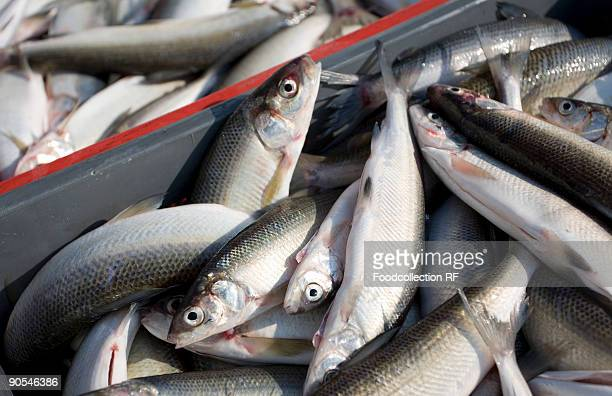 Fresh fishes in crates, close up