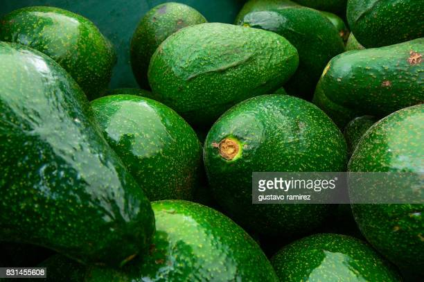 fresh fuerte avocado harvested