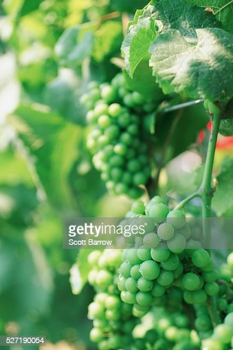 Fresh grapes : Photo