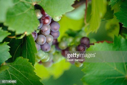 Fresh grapes : Stock Photo