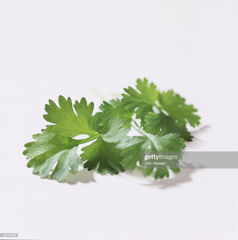 fresh  green coriander and parsley : Stock Photo
