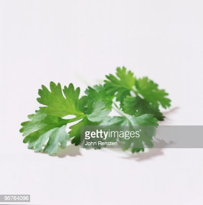 fresh  green coriander and parsley