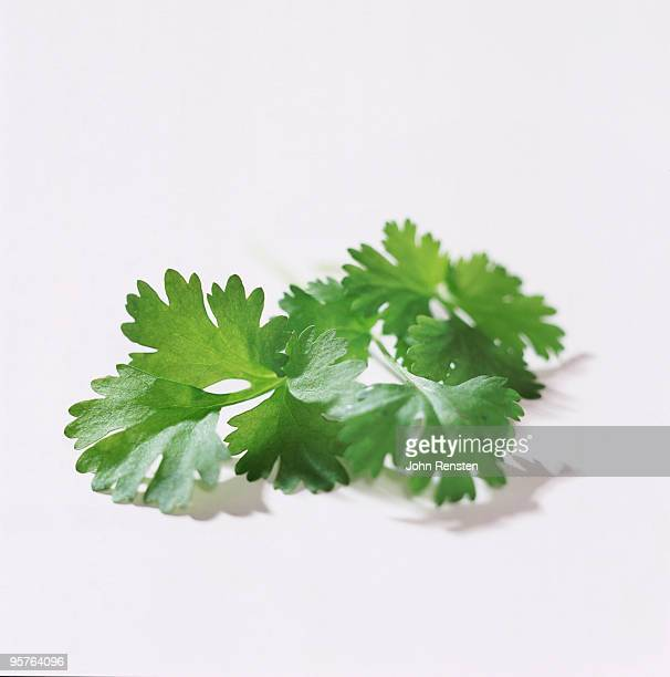 fresh  green coriander and parsley