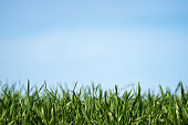 Fresh green grass as border on blue sky background.