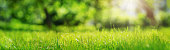 Fresh green grass background in sunny summer day