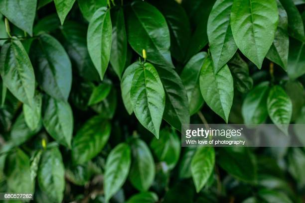 Fresh green leaves background, natural pattern, green leaves pattern, green background, natural background