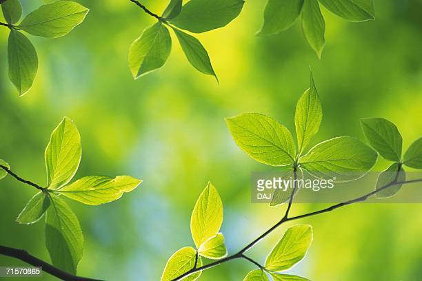 Fresh Green Leaves, Close Up, Differential Focus
