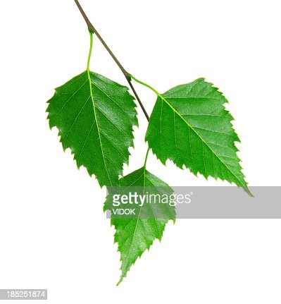 3 fresh green leaves from a branch