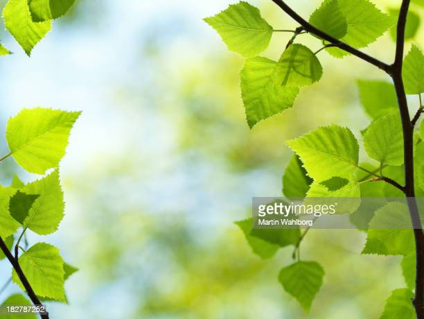 Fresh green leaves from a young tree