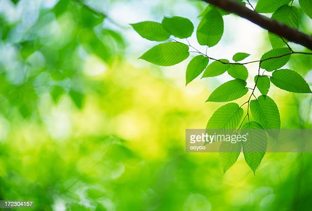Fresh Green Leaves in Forest