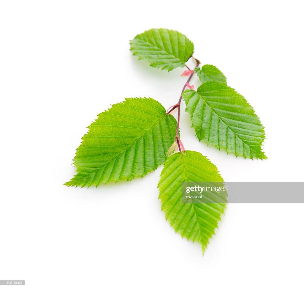 Verdes frescas hojas aislada. : Foto de stock