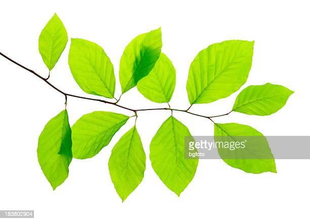 Frische grüne Blätter