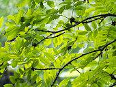 Fresh Green Leaves, Forest, Springtime