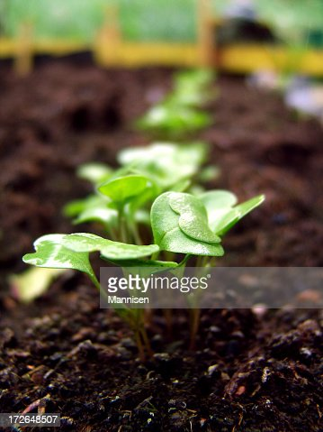 Fresh green newcomer planted in soil lined up in a row
