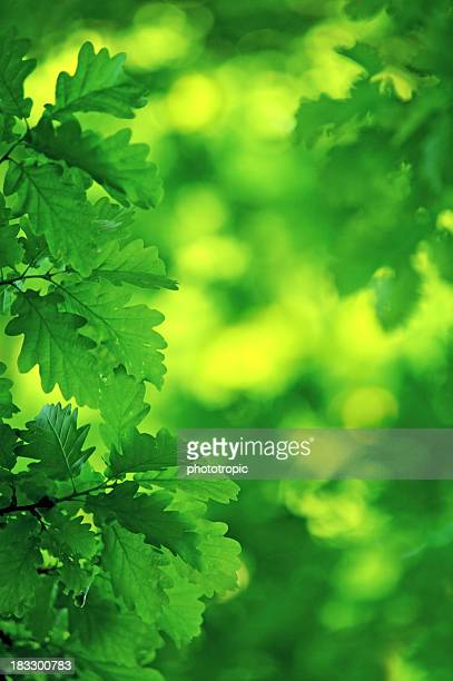 fresh green oak leaves