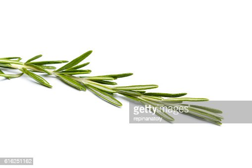 Fresh green sprig of rosemary : Stock Photo