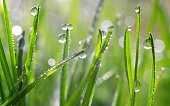 Fresh green spring blades of grass with dew drops closeup.