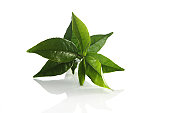 Fresh Green tea leaves on white Background