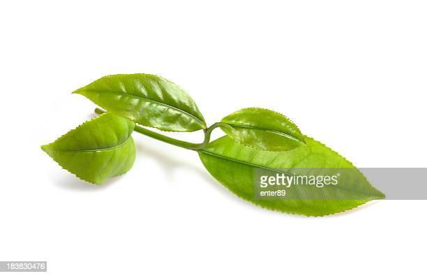 Feuilles fraîches de thé vert