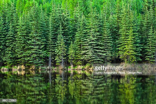 Fresh greens of boreal forest reflect on Beaver Pond, Chena River State Recreation Area
