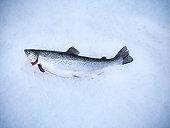 Fresh hand-reared Scottish salmon on ice in fish farm