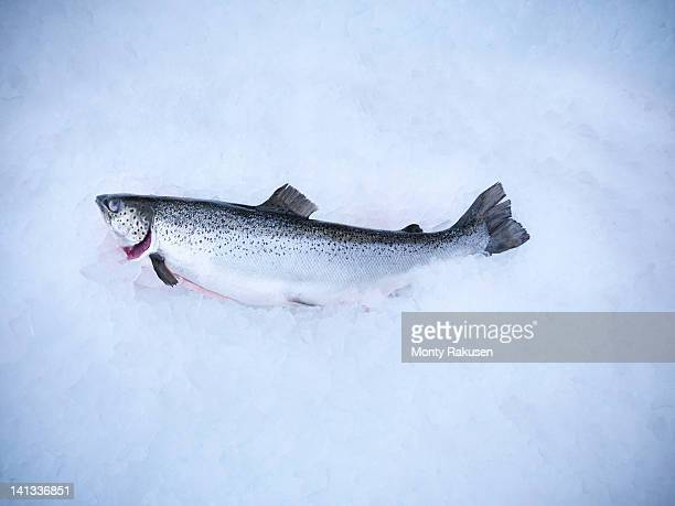 Fresh hand-reared Scottish salmon on ice in fish farm
