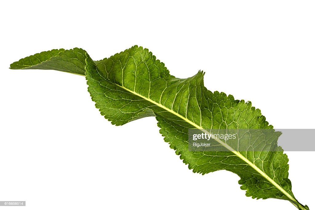 Fresh horseradish leaf (Armoracia P. Gaertn), isolated on white : Stock Photo