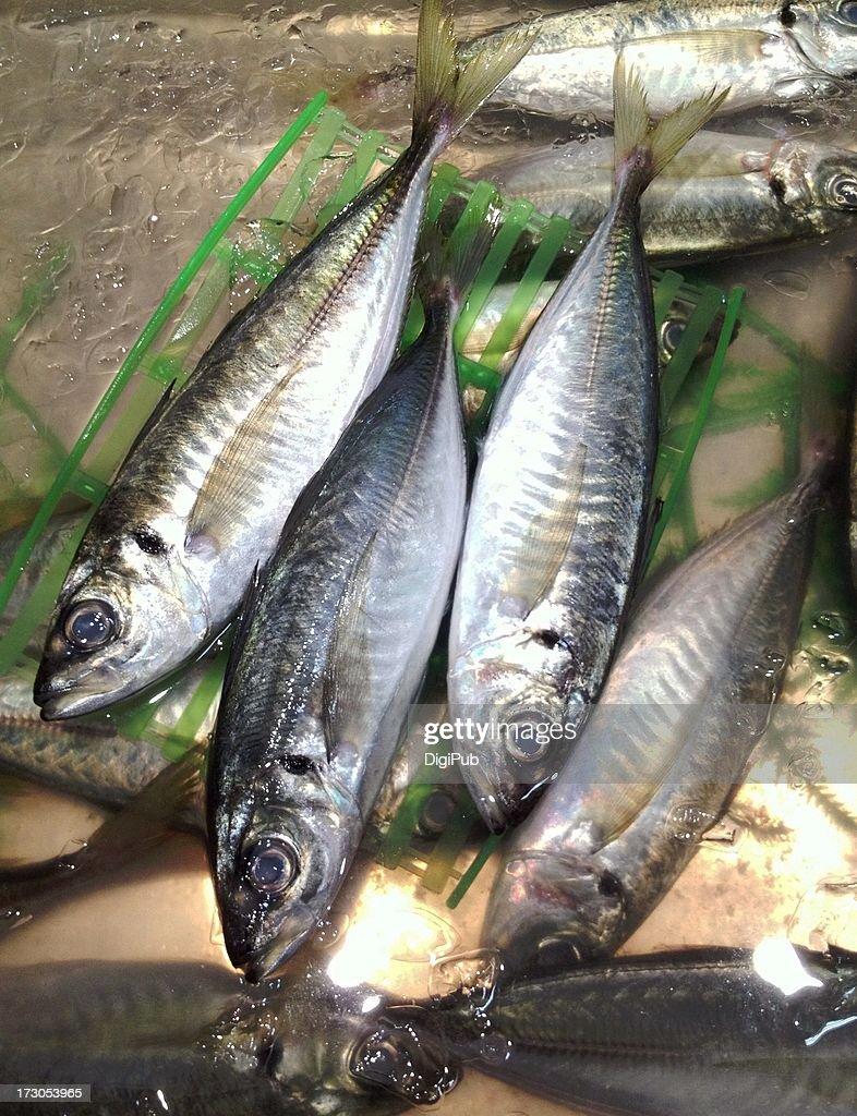 Fresh Japanese jack mackerel : Stock Photo