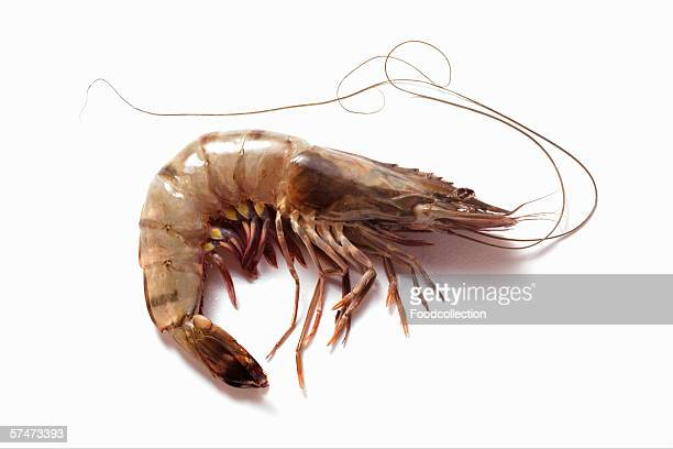 A fresh king prawn