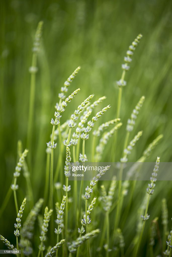 Fresh lavender nature background green selective focus : Stock Photo