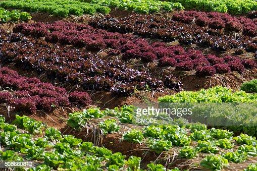 Fresh lettuce growing in Vegetable garden : Stock Photo