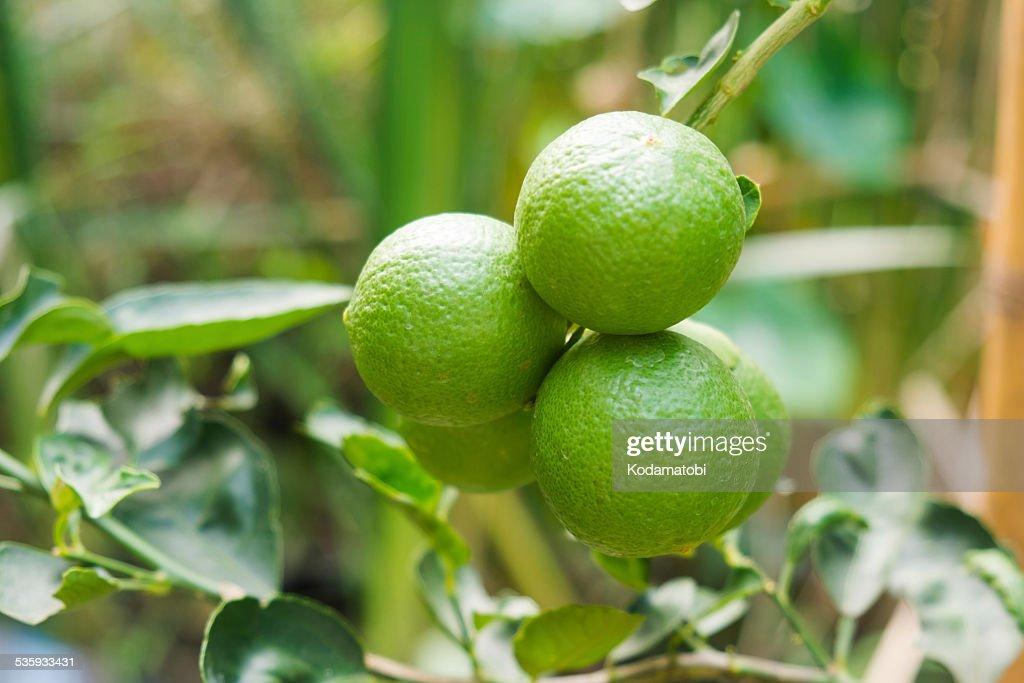 Fresh limes on lime tree : Stock Photo