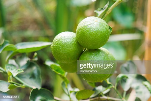 Fresh limes on lime tree : Stock Photo