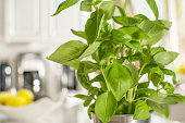 Fresh basil in a stainless steel cup sitting on the kitchen counter. In the background is a bowl of lemons and kitchen appliances out of focus. Close-up of basil plant with shallow depth of field.
