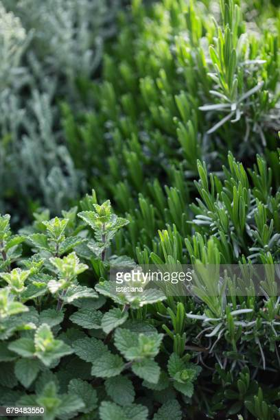 Fresh mint and rosemary herbs plants growing in a herb garden