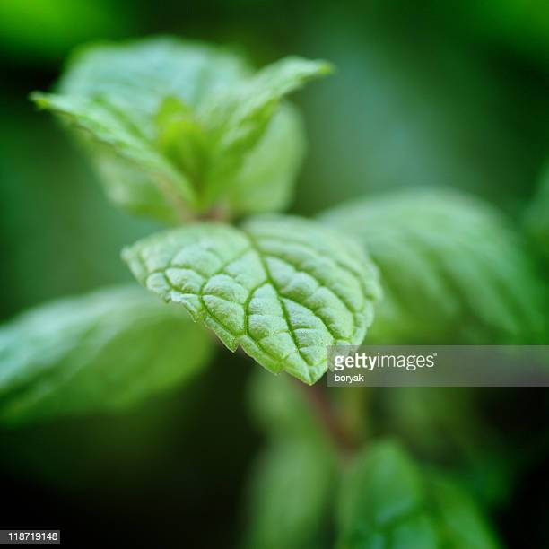 Fresh Mint Closeup