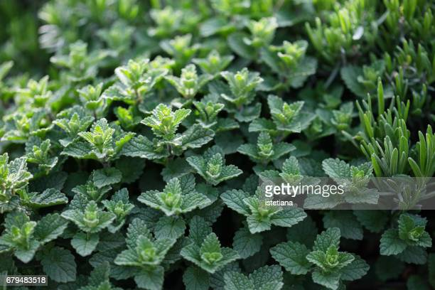 Fresh mint herb plants growing in a herb garden