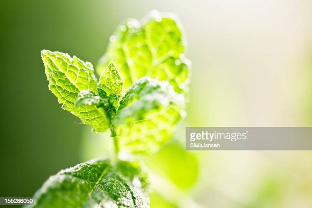 fresh mint leaves drops of water