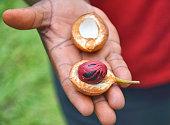 Fresh nutmeg fruit on hand. Grenada spice garden