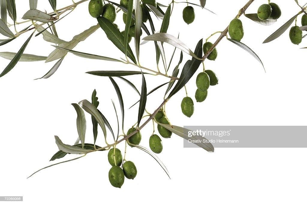 Fresh olives on twig, close-up