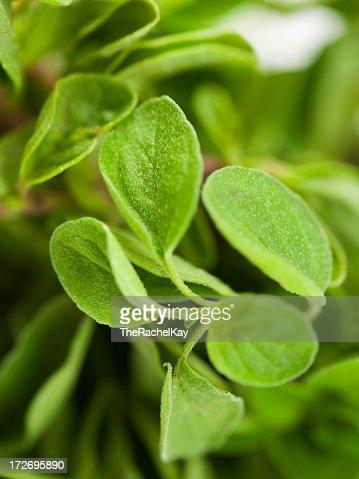 Fresh oregano leaves for harvesting