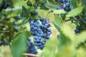 Fresh organic blueberrys on the bush. Vivid colors