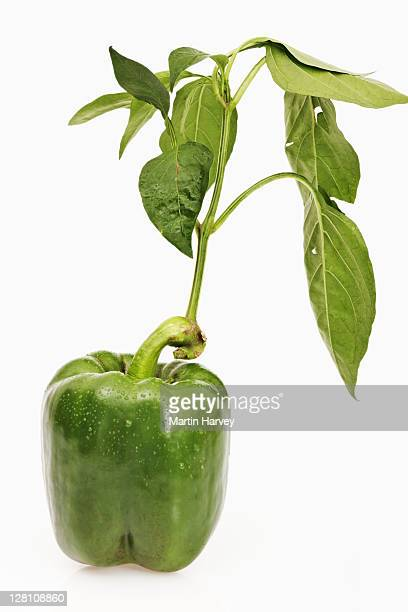 Fresh, organic green pepper on white background. Also known as capsicum or bell pepper.