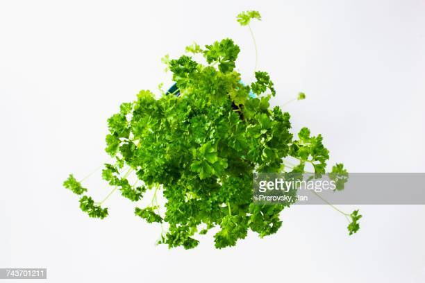 Fresh parsley in a flower pot