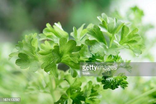 Fresh Parsley : Stock Photo
